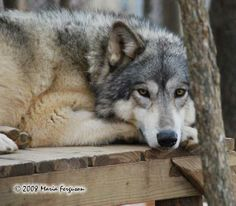beautiful wolves | Wolf pictures, beautiful Wolf Girl Recurring Dreams, Wolf Totem, Call Of The Wild, Wolf Pictures, Beautiful Wolves, Wolf Girl, White Wolf, Totems, Wild Animals
