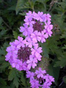 ROSE VERBENA Pottawatomie County, Kansas Perennial Height: 8-24 inches Family: Verbenaceae - Vervain Family Flowering Period:   May, June