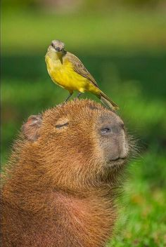 Bird and capybara