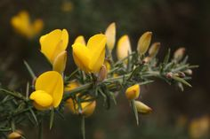 gorse | Flickr - Photo Sharing!
