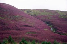 In the Highlands of Scotland, the hills are covered in purple heather.