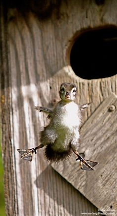 Wood Ducklings Jump, But Don't Worry, They Bounce -- Learn more about wood ducks and how to build a nest box in your yard!