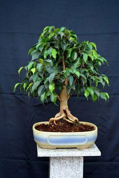 How to Start a Bonsai Tree (with Pictures) - wikiHow How to Start a Bonsai Tree. The ancient art of growing Bonsai trees is well over a thousand years old. Many individuals are not aware that a simple potted plant is literally the meaning of Bonsai, Bonsai Ficus, Jade Bonsai, Indoor Bonsai Tree, Bonsai Plants, Bonsai Garden, Bonsai Trees, Ficus Tree, Succulents Garden, Air Plants