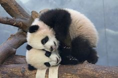 Mei Lun and Mei Huan Head-on: #ZAFanFriday share from Facebook user Cyndi H.