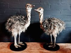 #GalerieHartWare #birds #ostrich #stuffed #homeaccessories #gallery  #haverstraatpassage #enschede