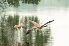 'Kanadagänse im Flug' von toeffelshop bei artflakes.com als Poster oder Kunstdruck $27.73