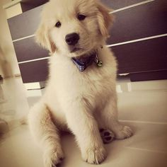 Sunday cuddling...Is that cute? ✔Follow https://www.instagram.com/goldenretrieverpage/⏪⏪ #goldenretrieverpage #goldenretriever #goldenretrievers #goldenretrieversofinstagram #goldenpuppy #goldenpuppies #goldenretrieverlove #ilovedogs #ilovegolden_retrievers #retriever #retrieversofinstagram #goldenretrieverworld #puppydog #puppies #puppy #dogs #dog #dogworld #animals #animal #love #lovedog #instagram #instaanimal #instaanimals #instadog #beautifulbc