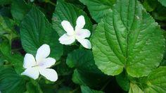 Native Plants - Woodland/Shade Species - From the Prairie Moon Nursery [- Cream Violet/Viola striata