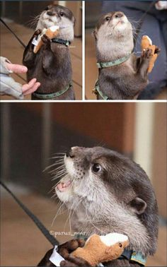 Oh my gosh! An otter with an stuffed toy otter.