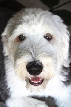 This OES from: Westbrooke Drive: Old English Sheepdog looks exactly like our Daisy Mae!
