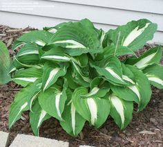 View picture of Hosta 'Night before Christmas' (Hosta) at Dave's Garden.  All pictures are contributed by our community.