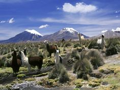 Llamas Grazing in Sajama National Park with the Twins, the Volcanoes of Parinacota and Pomerata in