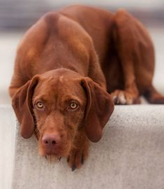 Hungarian Vizsla Dog Heike Willers Photography Wirehaired Vizsla, Vizsla Dog, Doggies, Dogs And Puppies, Hungarian Vizsla, Hunting Dogs, Madness, Labrador Retriever, Friends