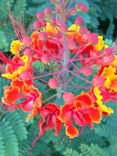 Palm springs desert flowers palm springs pinterest desert beautiful desert plants desert flower the hummingbirds adore these mightylinksfo