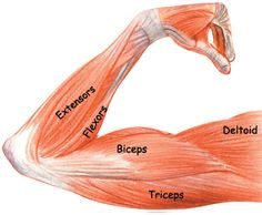 Brachialis is a small muscle located over the lower segment of the upper arm that joins the bottom half of the bicep to the forearm. Description from workouttrends.com. I searched for this on bing.com/images