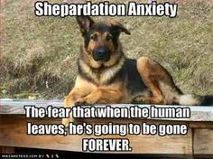 Funny German Shepherd Pic :)