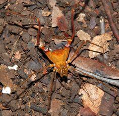 Goniosoma sp. Goniosomatinae, Gonyleptidae. Leme do Prado, Minas Gerais, Brazil.