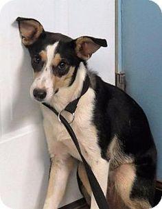 Van Wert, OH - Rat Terrier Mix. Meet Terrie, a dog for adoption…