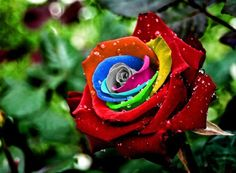Roses #flowers learn how 2 #grow #rose http://www.growplants.org/growing/hybrid-tea-rose Buy Mystic Dream Rose Seeds