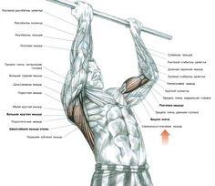 http://musclefactory.ru/kak-kachat-shirochajshie-myshcy