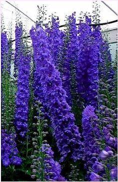 Delphinium. perennial garden.