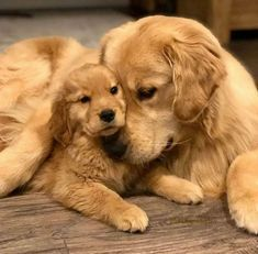 Super Cute Puppies, Cute Baby Dogs, Cute Little Puppies, Super Cute Animals, Cute Dogs And Puppies, Cute Little Animals, Cute Funny Animals, Doggies, Golden Labrador Puppies