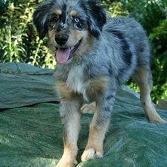 """""""irish wolfhound australian shepherd mix"""" - Google Search"""
