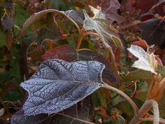 Hydrangea quercifolia Alice - Fall