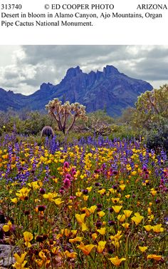 Desert in bloom in Alamo Canyon, Ajo Mountains. I want to visit when it looks like this!