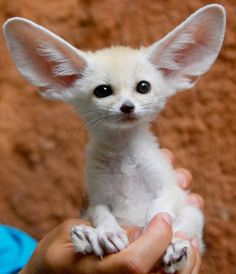 Fennec Fox - The Fennec fox's comically large ears don't just help it hear prey from far away or underground, they also help regulate its body temperature.
