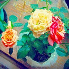 出窓のバラ