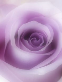 Perfect Purple Rose