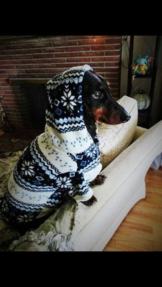 Sausage dog in a Christmas jumper