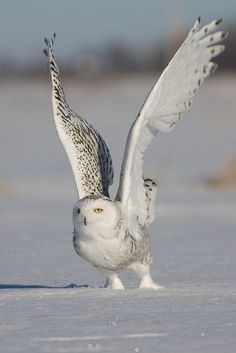 Great owl pic.