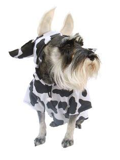 Disfraz de Vaca para Perro #DisfracesParaPerros #Halloween #Disfraces #Perros