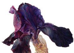 botanical artist rosie sanders - prints for sale Watercolor Disney, Watercolor Plants, Watercolor Sketch, Floral Watercolor, Dark Flowers, Iris Flowers, Botanical Flowers, Botanical Prints, Colorful Flowers