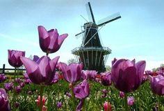 The historic DeZwaan windmill at Windmill Island in Holland