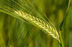Znalezione obrazy dla zapytania barley