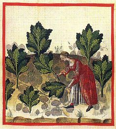 Harvesting cabbage/greens. Notice her dress is hiked up, showing her chemise, and her sleeves are rolled back.