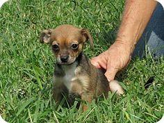 Glastonbury, CT Boston Terrier/Chihuahua Mix. Meet