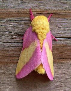 Dryocampa rubicunda    The Rosy Maple Moth (Dryocampa rubicunda) is a North American moth in the Saturniidae family. Males have a wingspan of 32–44 mm; females of 40–50 mm. They have reddish-to-pink legs and antennae, yellow bodies and hindwings, and pink forewings with a triangular yellow band across the middle. Males have bushier antennae than females.    As the name implies, rosy maple moths mainly feed on Maples, particularly Red Maple, Silver Maple, and Sugar Maple.