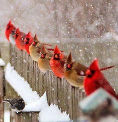 Pretty Birds, Love Birds, Beautiful Birds, Animals Beautiful, Buy Birds, Hirsch Illustration, Animals And Pets, Cute Animals, Cardinal Birds