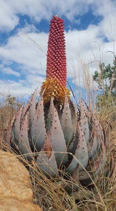 Aloe peglerae in flower. July 2018 - Garden Style - Aloe peglerae in flower. July 2018 Aloe peglerae in flower. Weird Plants, Unusual Plants, Exotic Plants, Cool Plants, Cacti And Succulents, Planting Succulents, Cactus Plants, Planting Flowers, Nature Plants