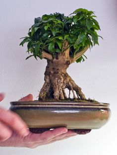 Bonsai Art, Bonsai Plants, Bonsai Garden, Bonsai Trees, Bonsai Meaning, Miniature Trees, Miniature Gardens, Mame Bonsai, Indoor Bonsai