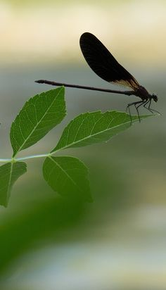 A dragonfly amazing balance on the tip of leaf. Animals And Pets, Cute Animals, Wild Animals, Animal Pictures, Cool Pictures, Carosel Horse, Cool Insects, Butterflies Flying, Bugs