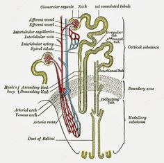 Anatomy Of The Human Body Kidney | Anatomy Picture Reference and Health News