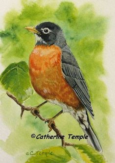 Robin Bird Pictures Watercolor Painting New Ideas Bird Painting Acrylic, Watercolor Bird, Watercolor Paintings, Bird Paintings, Watercolors, Watercolor Ideas, Robin Bird Picture, Red Robin Bird, Robin Vogel