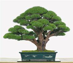 Demir Ağaci (Casuarinaequisetifolia) Tohumu 3,90 TL  İçmekanda yaşayabilen ender iğne yapraklı ağaçlardandır.  http://www.fideland.com.tr/demiragaci-casuarinaequisetifolia-