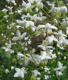 Thalictrum delavayi 'Album' - Clay tolerant, tall, airy and dainty White Plants, Colorful Plants, Rock Garden Plants, Shade Garden, Beautiful Gardens, Beautiful Flowers, Indoor Flowering Plants, Border Plants, Moon Garden
