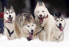 Huskies running :)